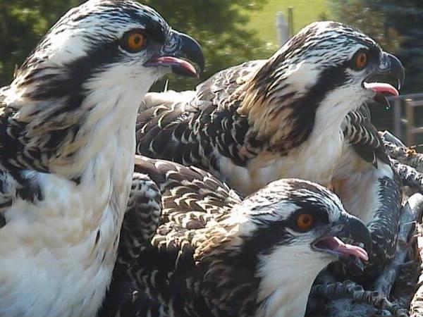 Osprey Trio