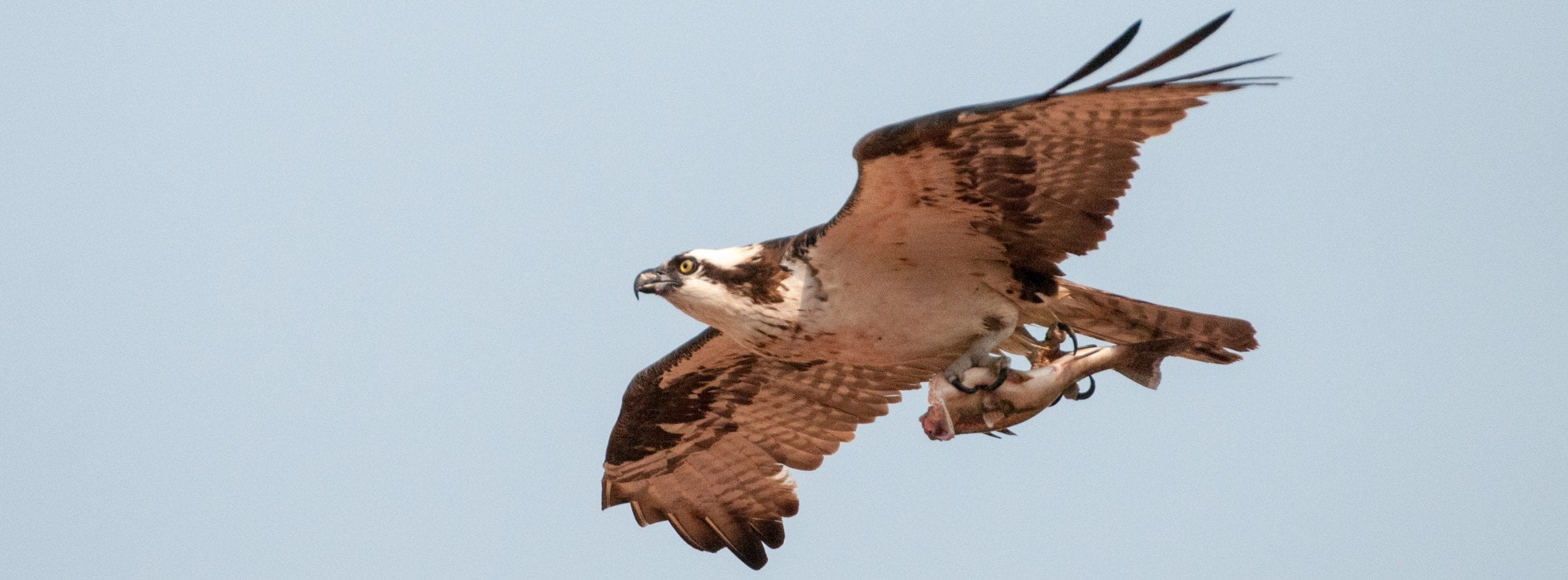 Osprey With Fish Slider