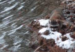 River Raccoon3
